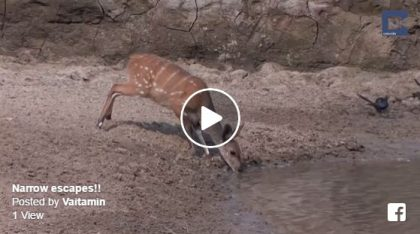 narrow escapes lucky animals