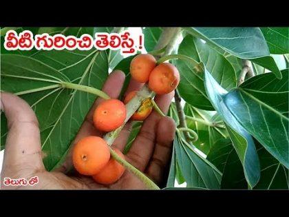 వీటి గురించి తెలిస్తే !II Banyan fruit best health and beauty benefits in telugu
