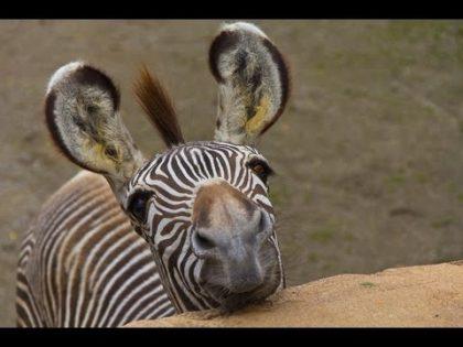 America's Funniest Animal Clips | Animals | AFV