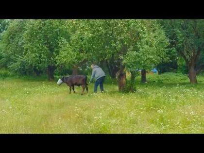 Cow Fail – funny fail – Cow and a bucket
