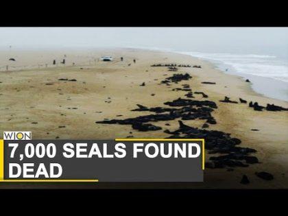 More than 7,000 dead seals found along Namibian beach | Namibia | World News | WION News