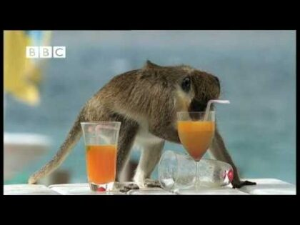 Drunk Monkeys Fail – Weird Nature